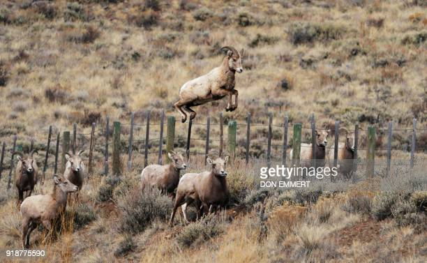 A Rocky Mountain bighorn sheep leeps over a fence February 15 2018 in Almont Colorado The sheep named for it's curling horns was designated official...