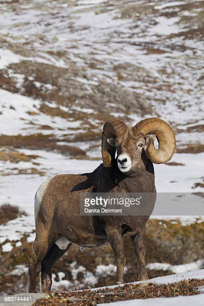 rocky mountain bighorn sheep ram ( ovis canadensis) standing in snow - file:bighorn,_grand_canyon.jpg stock pictures, royalty-free photos & images