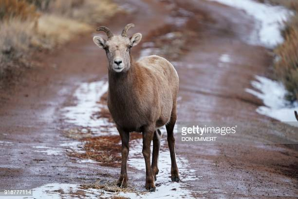 A Rocky Mountain bighorn sheep stands in the middle of a twotrack dirt road February 15 2018 in Almont Colorado The sheep named for it's curling...