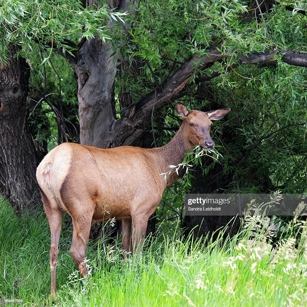 Rocky mountain elk eating : Stock Photo