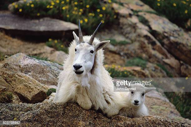 Rocky Mountain Goat and Kid