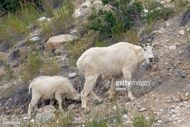 Rocky Mountain goat female with young foraging in rocky slope of mountainside Jasper National Park Alberta Canada