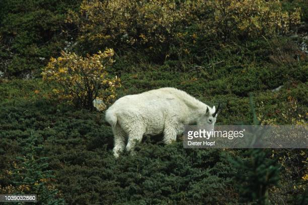 rocky mountain goat (oreamnos americanus), jasper national park, alberta, canada - vista lateral stock pictures, royalty-free photos & images