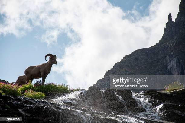 rocky mountain goat, montana. usa. - usa stock pictures, royalty-free photos & images