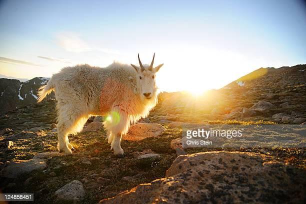 Rocky Mountain Goat on a mountain.