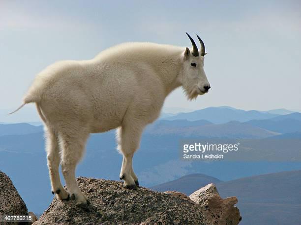 Rocky Mountain Goat on Rock Looking Down