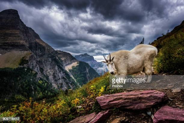 rocky mountain goat - parque nacional glacier - fotografias e filmes do acervo