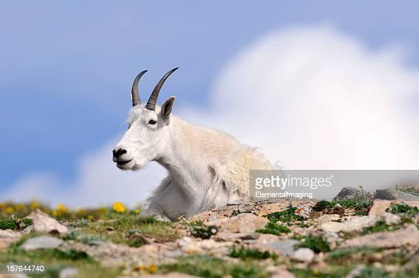 Rocky Mountain Goat (Oreamnos americanus) Portrait