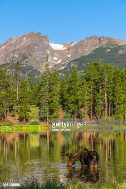 Rocky Mountain National Park Bull Moose