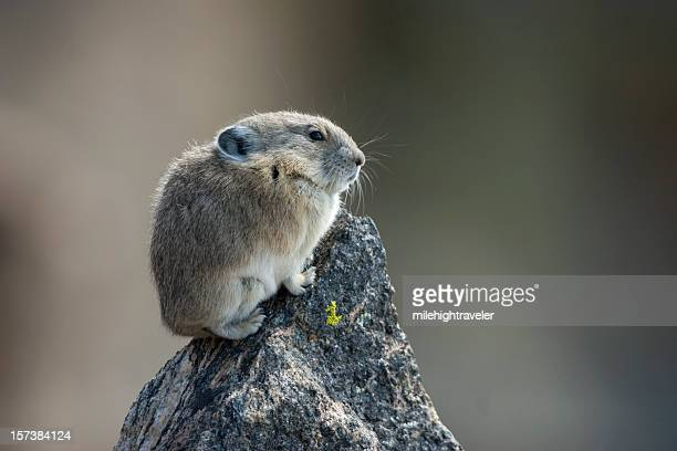 rocky mountain pika - pika stock pictures, royalty-free photos & images