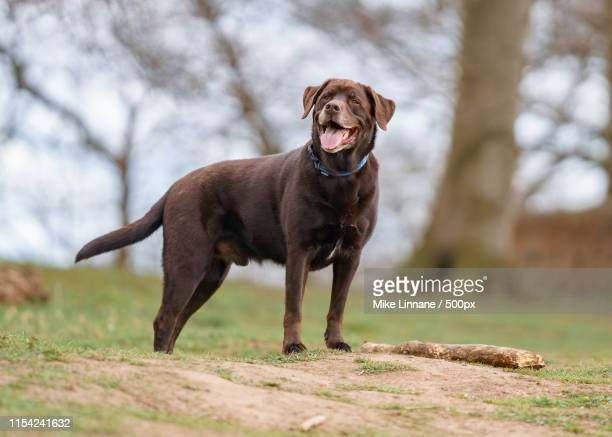 rocky - chocolate labrador stock pictures, royalty-free photos & images
