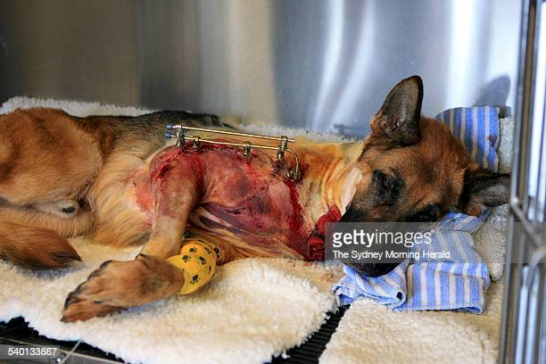 Rocky the heroic German Shepherd shortly after coming out of anaesthetic following an operation to remove two bullets and brace its broken leg with...
