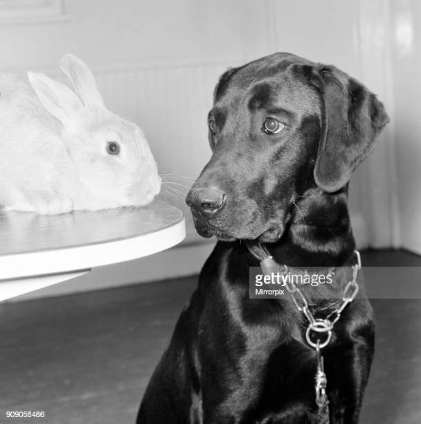 Rocky the Labrador Ginger the Rabbit at RSPCA Willesden London 27th April 1979