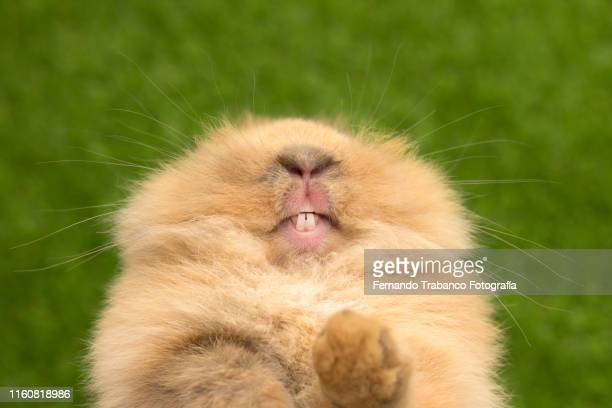 rodent teeth - rabbit animal stock pictures, royalty-free photos & images