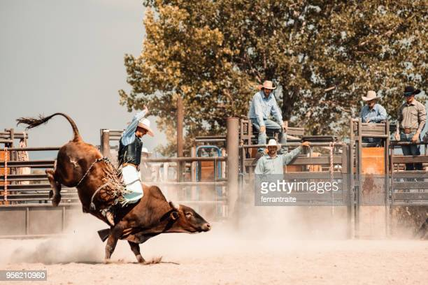 rodeo competition - bullock stock photos and pictures