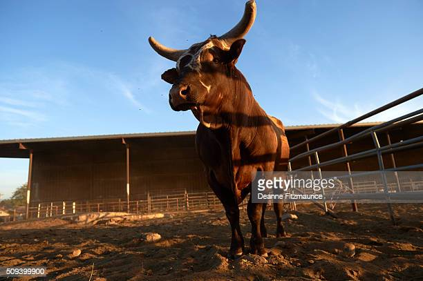 World S Best Bucking Bull Stock Pictures Photos And