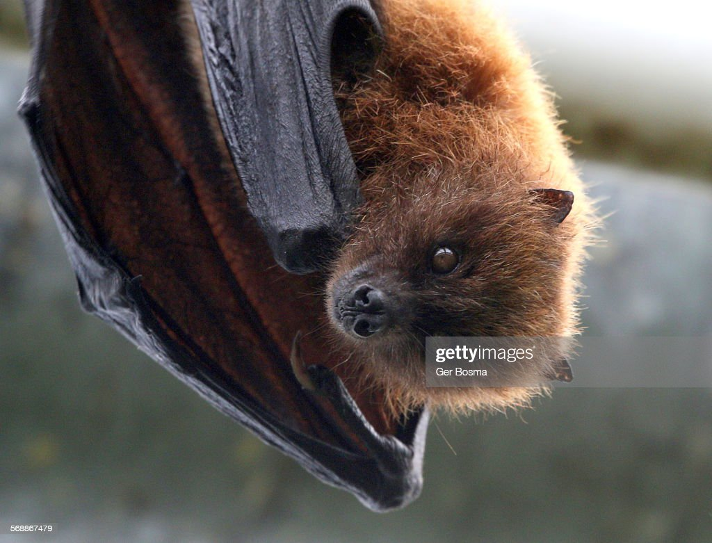 Rodrigues Flying Fox : Stock Photo
