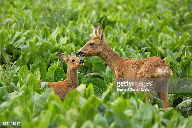 roe deer and fawn amidst plants on field - chevreuil photos et images de collection