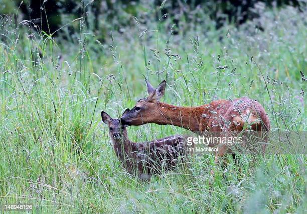 Roe Deer and her fawn shelter on the side of the course during the 2012 Scottish Hydro Challenge Day Four at The Macdonald Spey Valley Golf Course on...