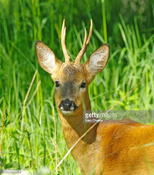 roe deer buck [capreolus capreolus] - antler stock pictures, royalty-free photos & images