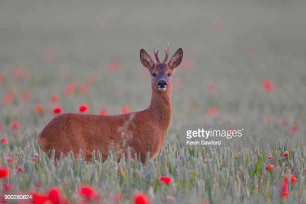 roe deer (capreolus capreolus), buck in wheat field with poppies, suffolk, england, united kingdom - chevreuil photos et images de collection