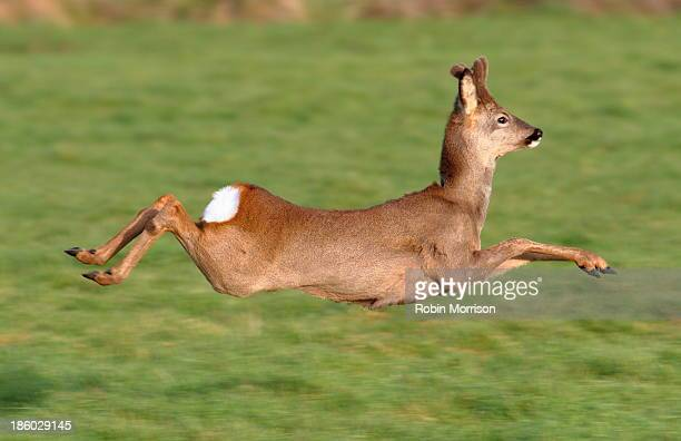 roe deer buck leaping into the air - chevreuil photos et images de collection
