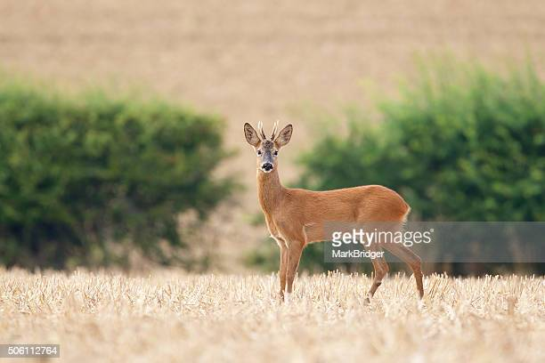 roe deer buck - biche photos et images de collection
