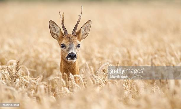 roe deer buck - chevreuil photos et images de collection