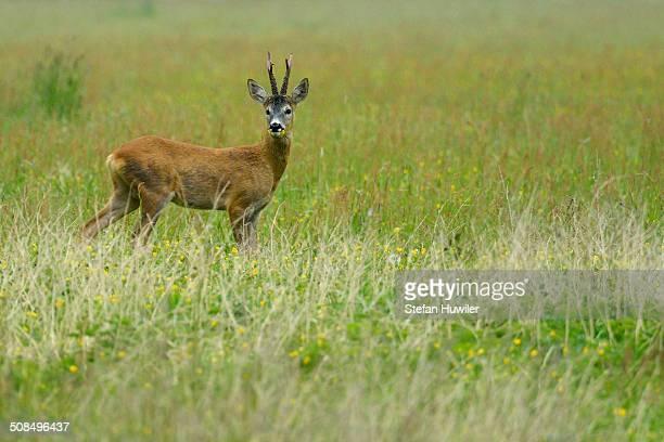 Roe Deer -Capreolus capreolus-, Biebrza National Park, Poland