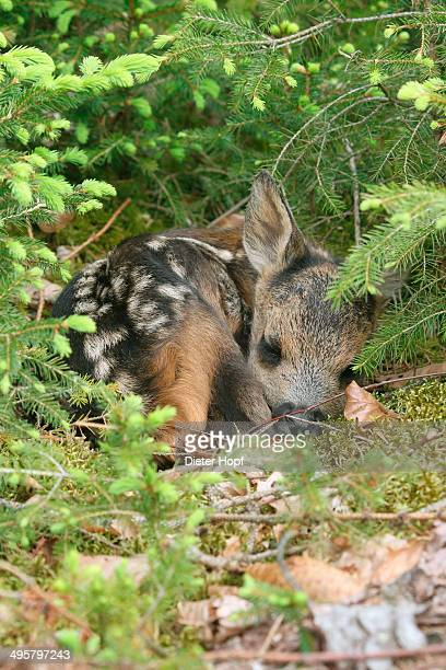 roe deer -capreolus capreolus- fawn, a few days old, lying between young spruce, allgau, bavaria, germany - fawn stock photos and pictures