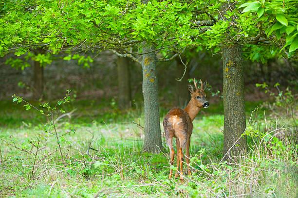 Roe Deer, Capreolus Capreolus In Woodland, Norfolk Wall Art