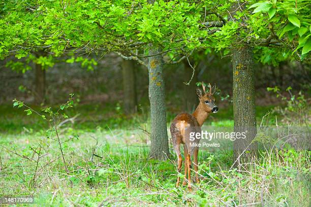 Roe Deer, Capreolus capreolus in woodland, Norfolk