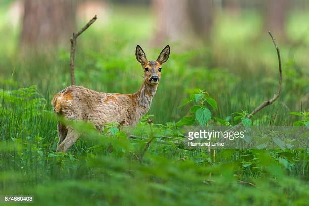 roe deer, capreolus capreolus - chevreuil photos et images de collection