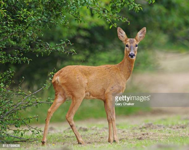 roe deer [capreolus capreolus] - biche photos et images de collection