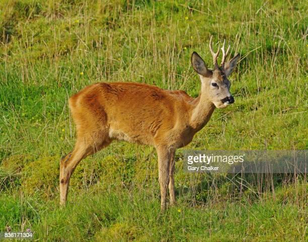 Roe Deer [Capreolus capreolus]