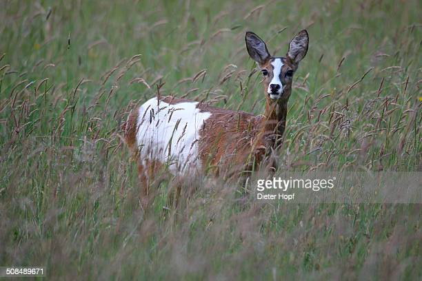 Roe Deer -Capreolus capreolus-, pied morph, in tall grass, Allgau, Bavaria, Germany