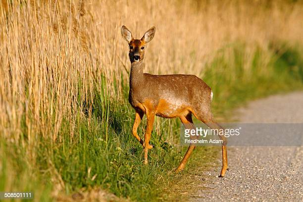 Roe deer -Capreolus capreolus- standing on a dirt road on the edge of reeds, Lake Neusiedl, Burgenland, Austria, Europe