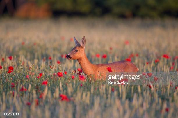 roe deer (capreolus capreolus), doe in wheat field with poppies, suffolk, england, united kingdom - femmina di daino foto e immagini stock