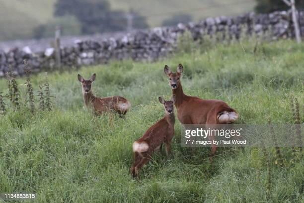 roe deer family - chevreuil photos et images de collection