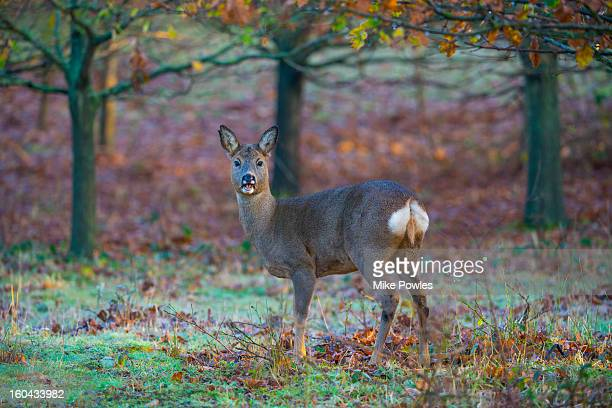 roe deer, female calling in woodland, norfolk - female animal stock pictures, royalty-free photos & images