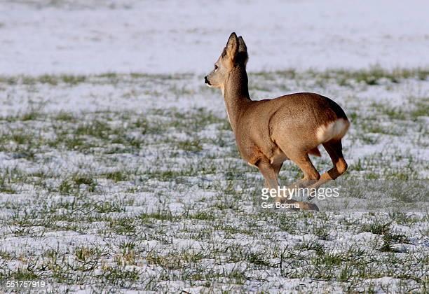 Roe Deer Galloping