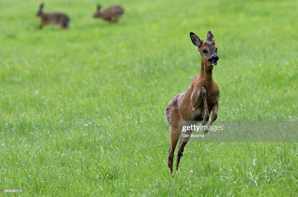 Young Roe Deer Buck (Capreolus Capreolus) jumping high into the air. In the background two male European Brown Hares (Lepus europaeus) chasing each other.