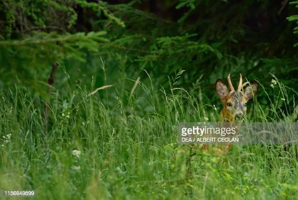 A roe deer in a meadow Lechtal Tyrol Austria