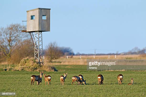 Roe deer in front of raised stand for hunting in field