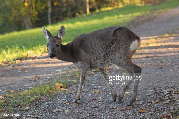 roe deer (capreolus capreolus) in gray winter coat on a dirt road, allgaeu, bavaria, germany - animals in the wild stock pictures, royalty-free photos & images