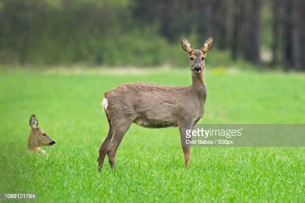 roe deer in nature - chevreuil photos et images de collection