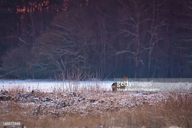Roe deer in snow field