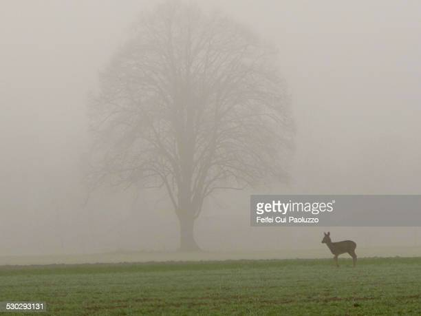 Roe Deer in the fog