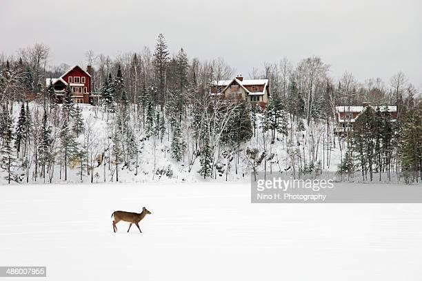 Roe deer in the winter