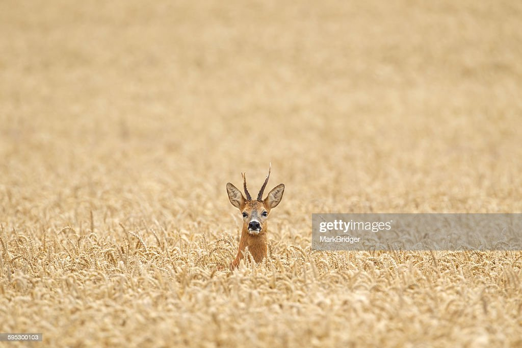 Roe deer lost in a field : Stock Photo